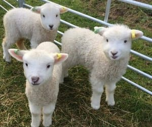 sheep, animal, and cute image