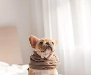 puppy, dog, and french bulldog image