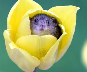 flowers, mouse, and tulips image