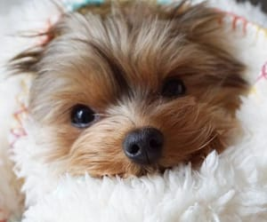 dogs, yorkies, and puppies image