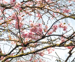 blossoms, flowers, and nature image
