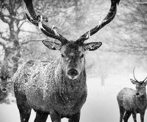 animals, horns, and b&w image