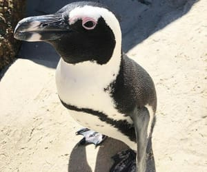 africa, beach, and penguin image