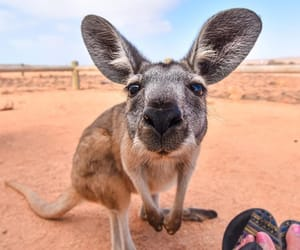 australia, animals, and kangaroo image