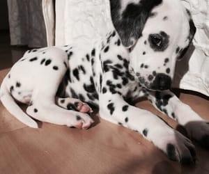 animal, animals, and dalmatian image