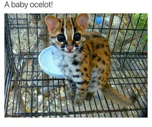 adorable, wild cats, and cute image
