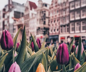 europe, netherlands, and tulips image