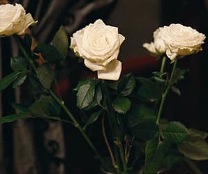 beauty, flower, and white roses image