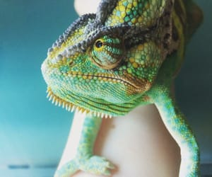 chameleon, colour, and green image