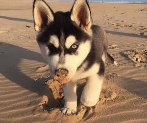 puppy, husky, and dog image