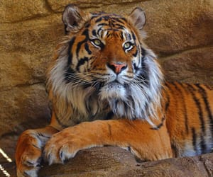 beauty, london, and tiger image