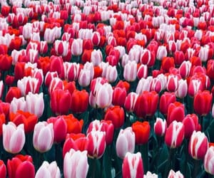 beautiful, tulips, and red image