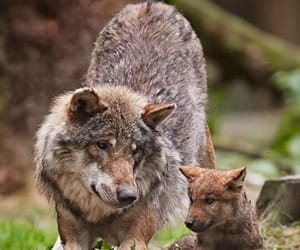 wolf, cute, and love image