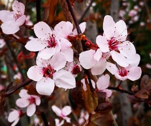 blossoms, cherry, and spring image