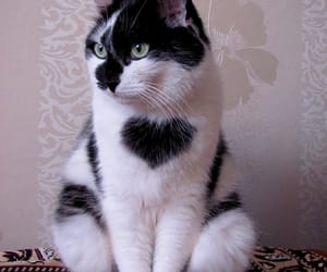 cat, heart, and animal image
