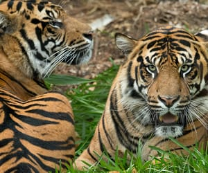 animals, big cats, and conrad image