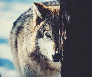 wolf and gif image