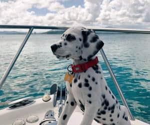 dog, pet, and dálmata image
