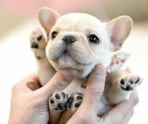 dogs, frenchies, and puppies image