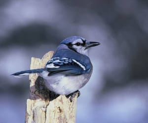 aesthetic, blue, and bluejay image