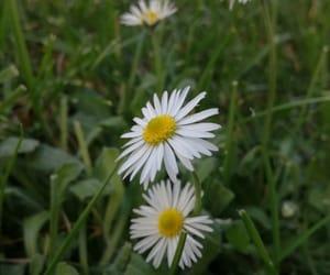 daisies, daisy, and prato image