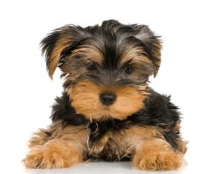 puppies and yorkie image