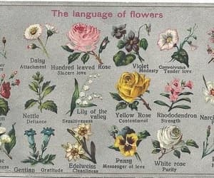 flowers, rose, and language image