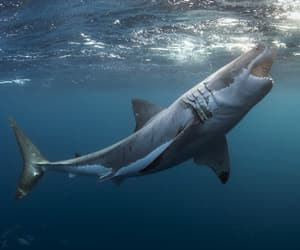 blue, great white, and nature image