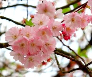 beautiful, cherryblossom, and nature image