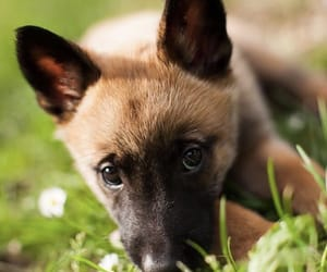 puppies, belgian malinois, and pupper image