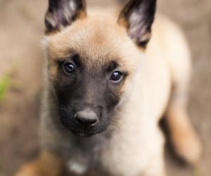 belgian malinois and pupper image