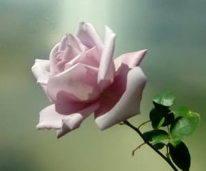 beautiful, flower, and pretty image