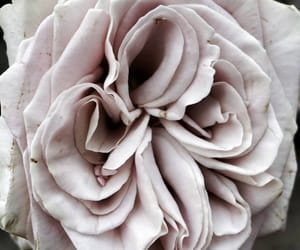 aesthetic and antique rose image