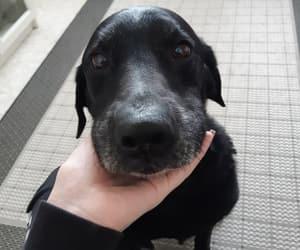 black dog, dog, and labrador image