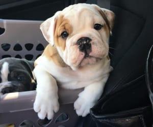 puppy, bulldog, and dog image