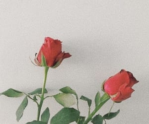 rose, red, and flowers image