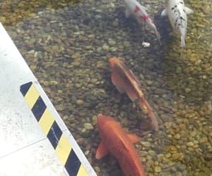 fishes, koi, and koi fish image