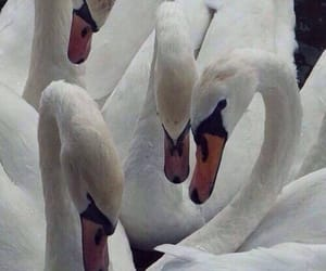 animals, swans, and Swan image