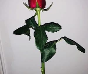 beautiful, rose, and cool image