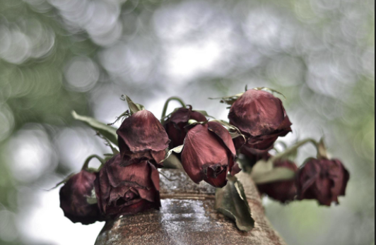 Image result for wilted rose