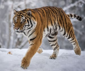 fast, siberian, and tigre image