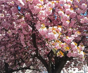 blossom, pink, and sping image