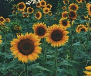sunflowers, flowers, and wallpaper image