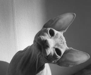 cat, black and white, and sphynx image