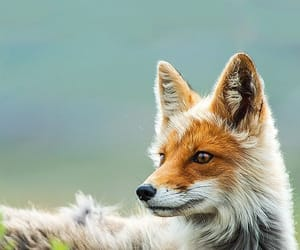 fox, animal, and nature image