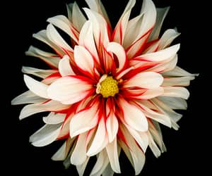 Red and white dahlia isolated on black background стоковое фото