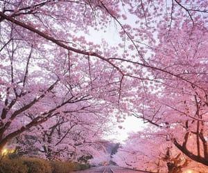 sakura, soft, and cherry blossoms image