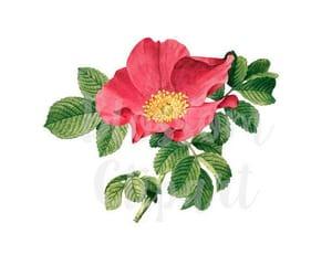 antique rose, vintage florals, and rose image image
