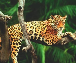 animalove, jaguar, and pardo image
