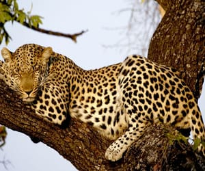 leopardo and animalove image